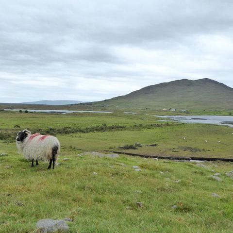 Schafe beim Wandern auf Irland