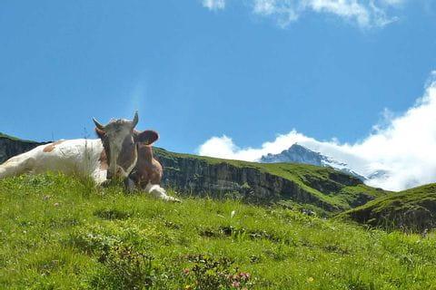 Freilaufende Kuh am Bärentrek