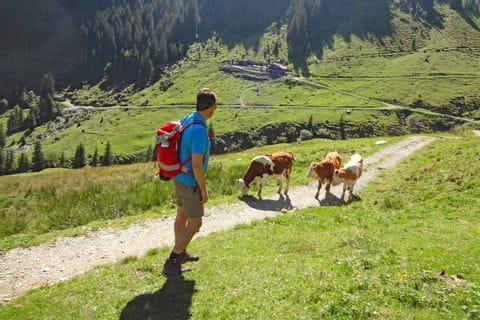 Kühe als Wanderbegleiter auf der Saalalm