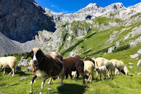 Schafe am Fuße des Hochkönigs