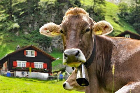 Freilaufende Kuh im Urnerland