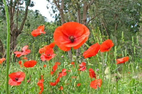 Mohnblumen auf den Wanderungen durch die Provence
