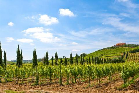 Vineyards near Stabbia