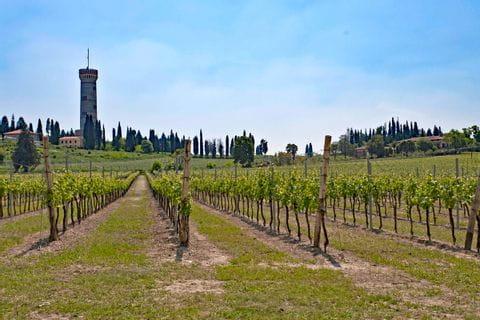Weingarten bei Desenzano