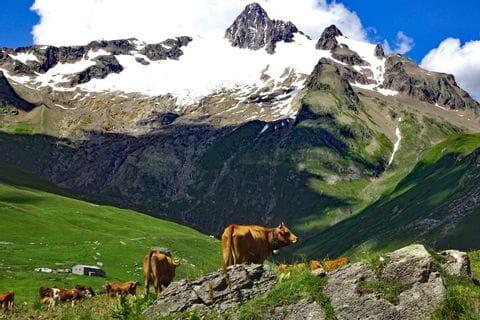 Freilaufende Kühe in den Alpen