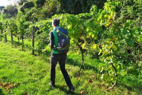 Wandern durch Weingärten in Krems