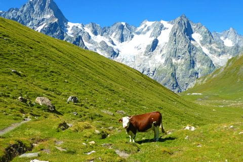 Cow in untouched French mountainside