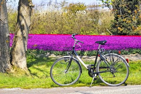 Bicycle parked in front of a field of tulips