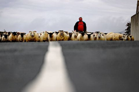 Schafherde mit Hirte auf der Straße in Irland