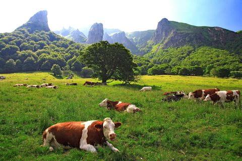 Grasende Kühe auf den Wiesen in der Wanderregion Auvergne