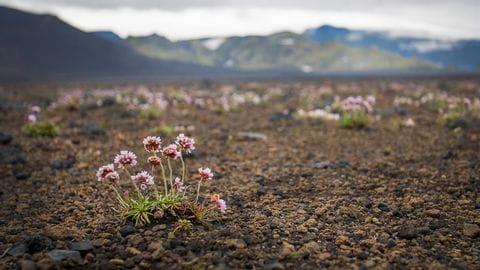 Island Blumen