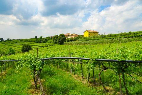 Vineyard on the way from Bolzano to Venice