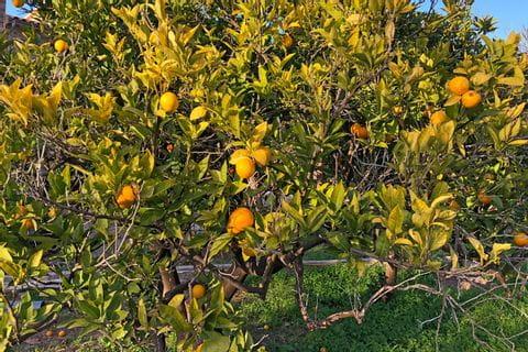 Orangenbaum auf Mallorca
