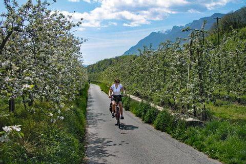 Radweg führt durch blühende Apfelbäume