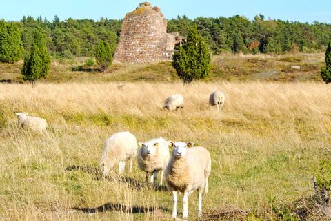 Sheep in Finland