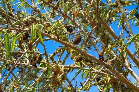 typischer Mandelbaum