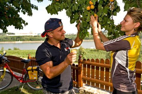 Marillenbäume in der Wachau an der Donau