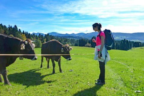 Kühe im Bregenzerwald