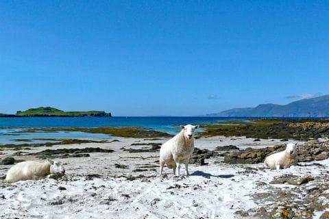 Küste mit Schafe
