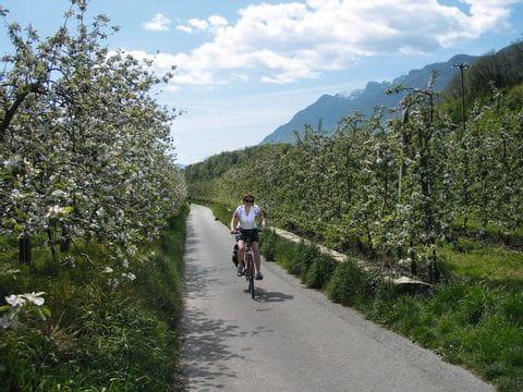 Apfelblüten in Südtirol