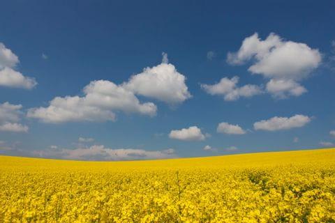 Rapsfeld und blauer Himmel