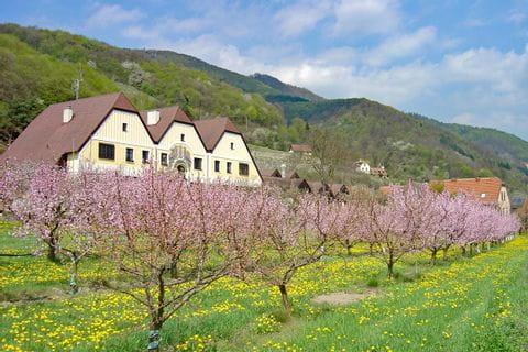 Blühende Marillenbäume