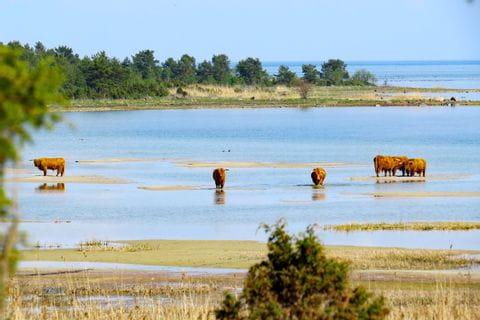 Büffel in einer Lagune