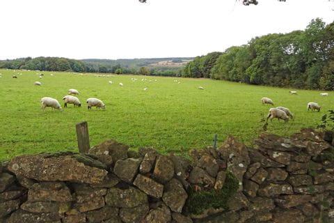 Schafe beim Wandern in Cotswolds