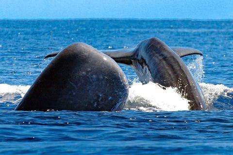 Walbeobachtung auf der Azoren Wanderreise