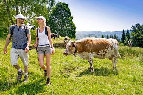 Begeisterte Wanderer mit grasenden Kühen