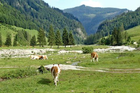 Weidende Kühe in der Almlandschaft