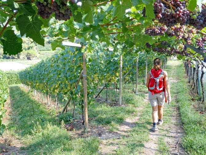 Wandern im Vinschgau durch blühende Weinreben